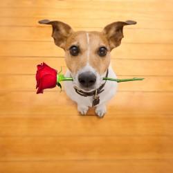 Pejsek - Růže pro tebe 2